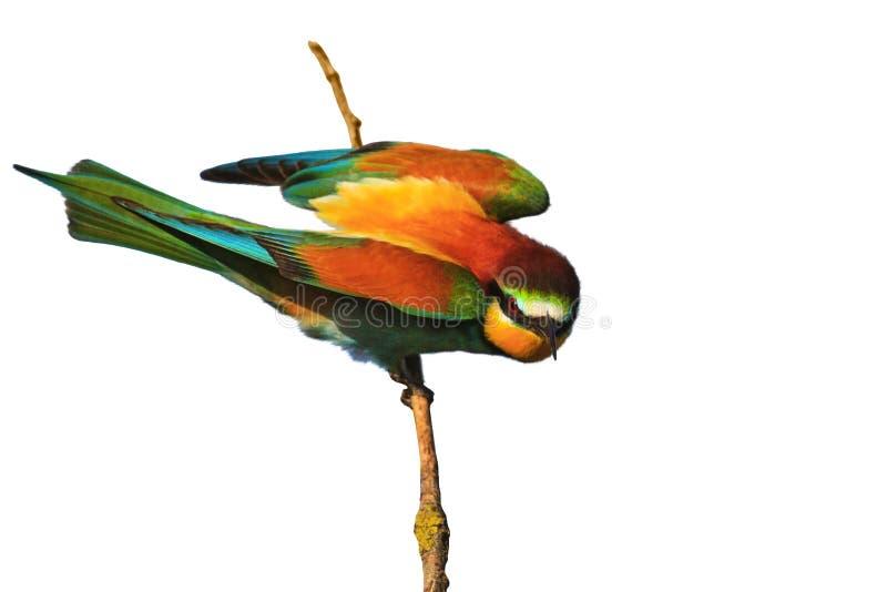 Pájaro Coloreado Enojado En Una Rama Aislada En Blanco Foto de ...