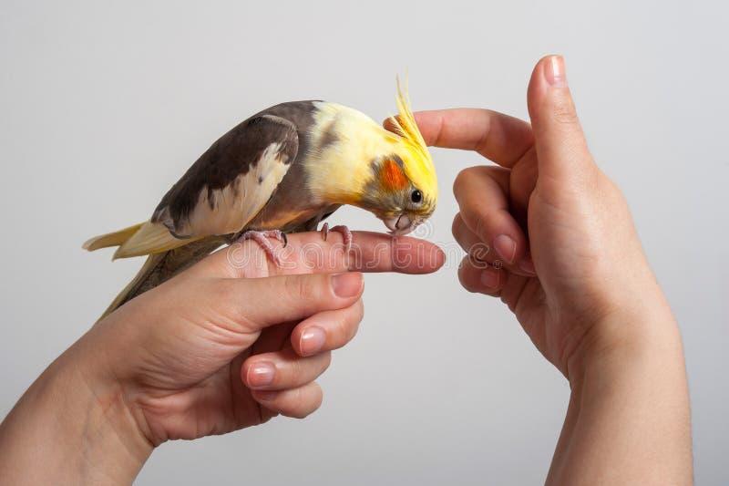 Pájaro colorido del loro que se sienta en una mano fotos de archivo libres de regalías