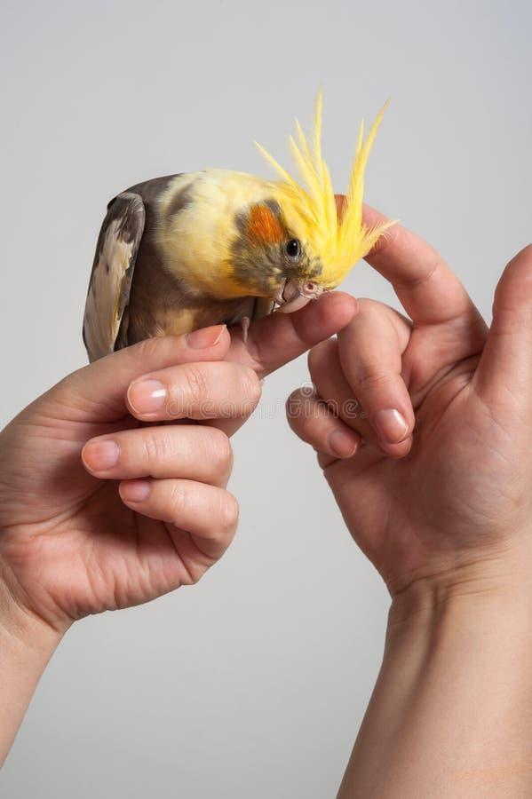 Pájaro colorido del loro que se sienta en una mano foto de archivo