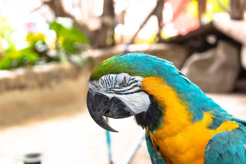 Pájaro colorido del macaw con el ojo enojado imagen de archivo libre de regalías