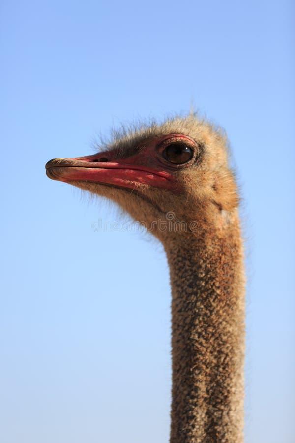 Pájaro común de la avestruz fotos de archivo