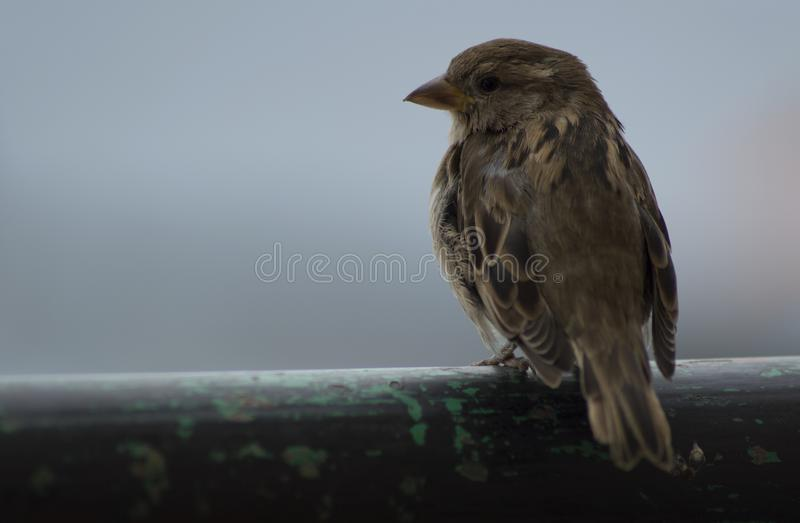 Pájaro común lindo que presenta en el horizonte foto de archivo libre de regalías