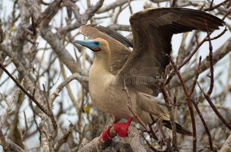 Pájaro con base rojo del bobo en las islas de las Islas Galápagos fotografía de archivo libre de regalías