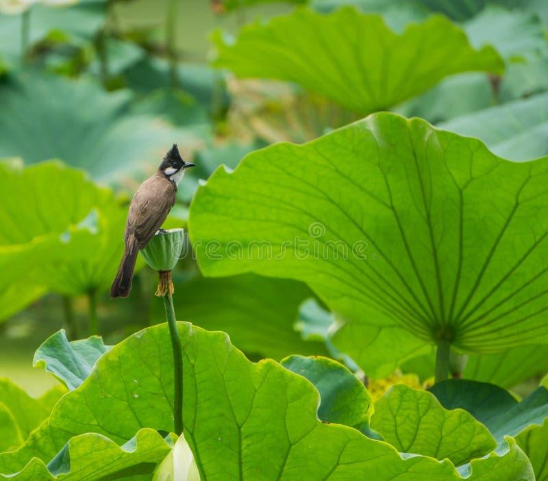 Pájaro con cresta imagen de archivo libre de regalías