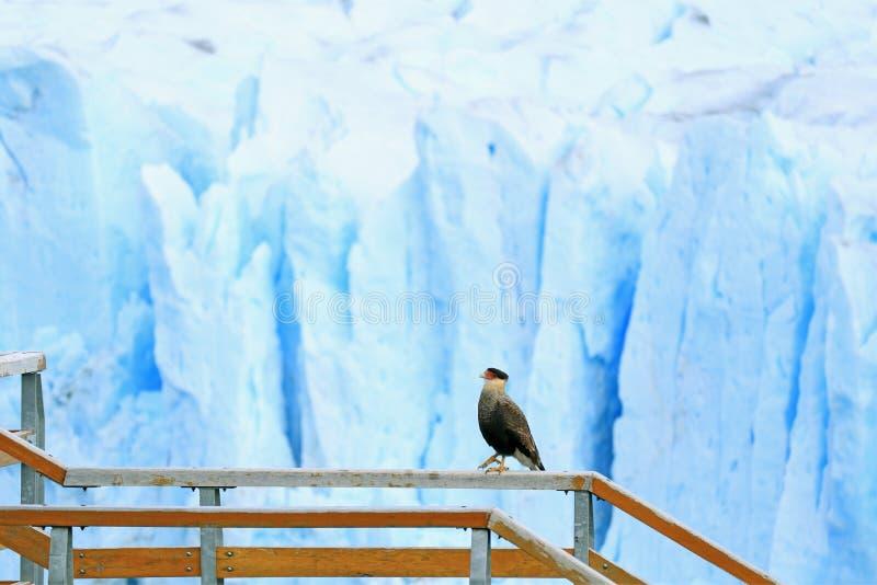 Pájaro con cresta meridional del Caracara que camina en la verja del paseo marítimo con Perito Moreno Glacier en el contexto, EL  imagen de archivo libre de regalías