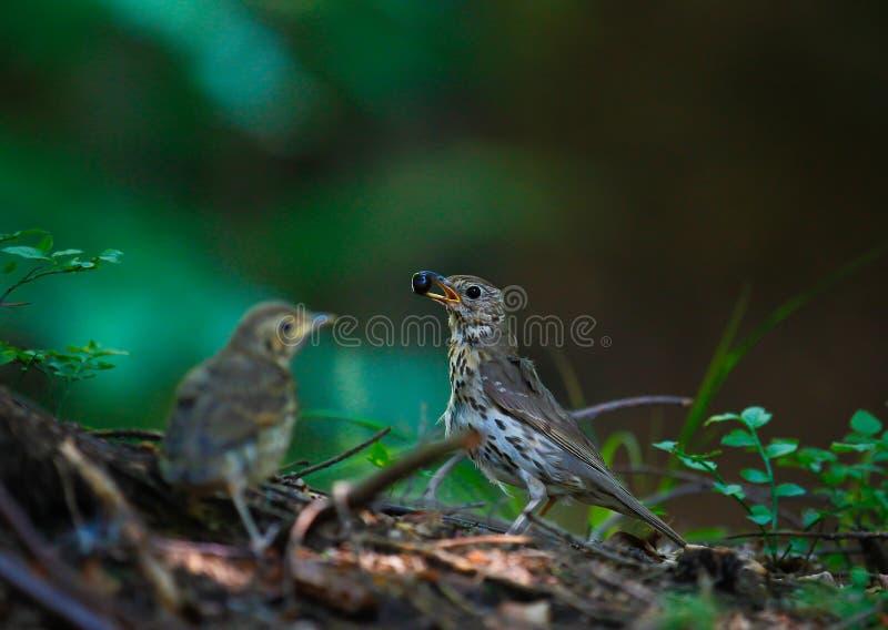 Pájaro con la baya en su pico fotografía de archivo