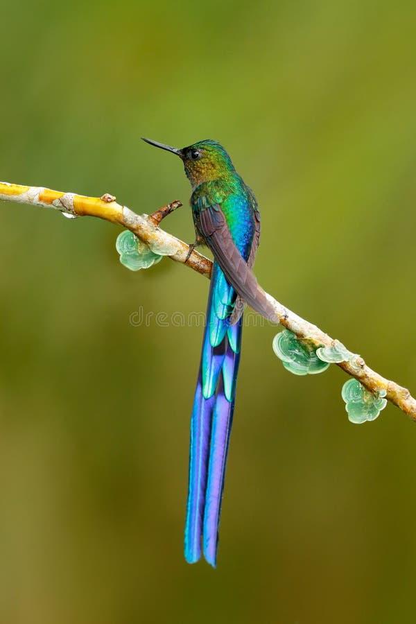 Pájaro con la cola larga Colibrí brillante azul hermoso con la cola larga Silfo de cola larga, colibrí con la cola azul larga en  fotografía de archivo libre de regalías