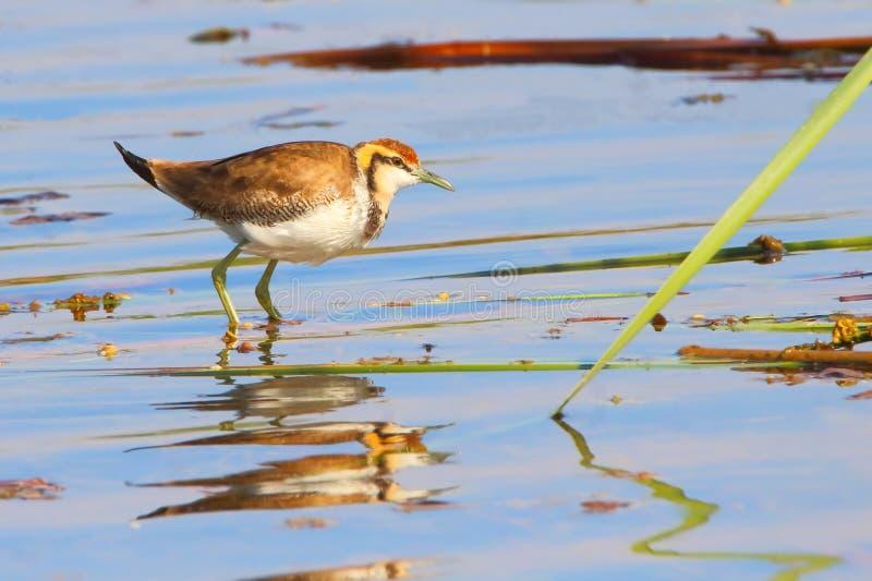 Pájaro de agua fotografía de archivo