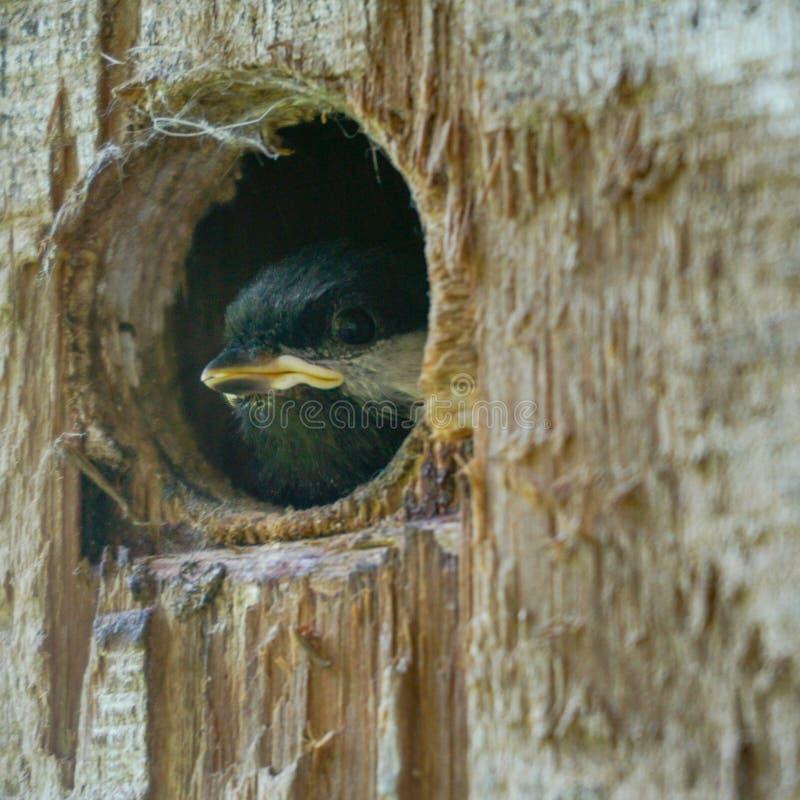 Pájaro de bebé que mira a escondidas de la jerarquía fotos de archivo