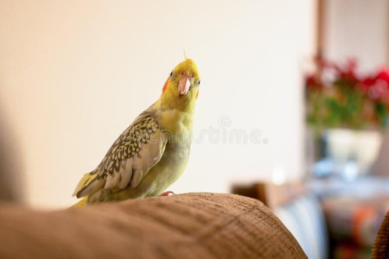 Pájaro de Calopsita foto de archivo