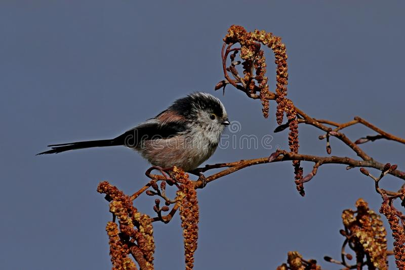 Pájaro de cola larga del Tit en perca fotos de archivo