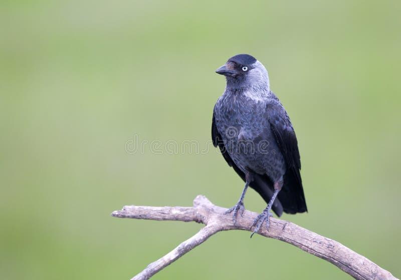 Pájaro de Daw en rama foto de archivo libre de regalías