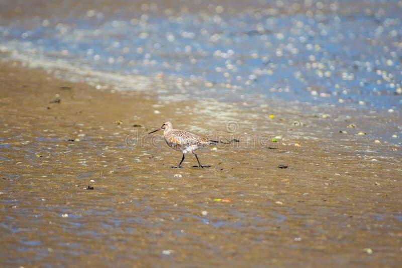 Pájaro de Dotteral en el estuario fotos de archivo