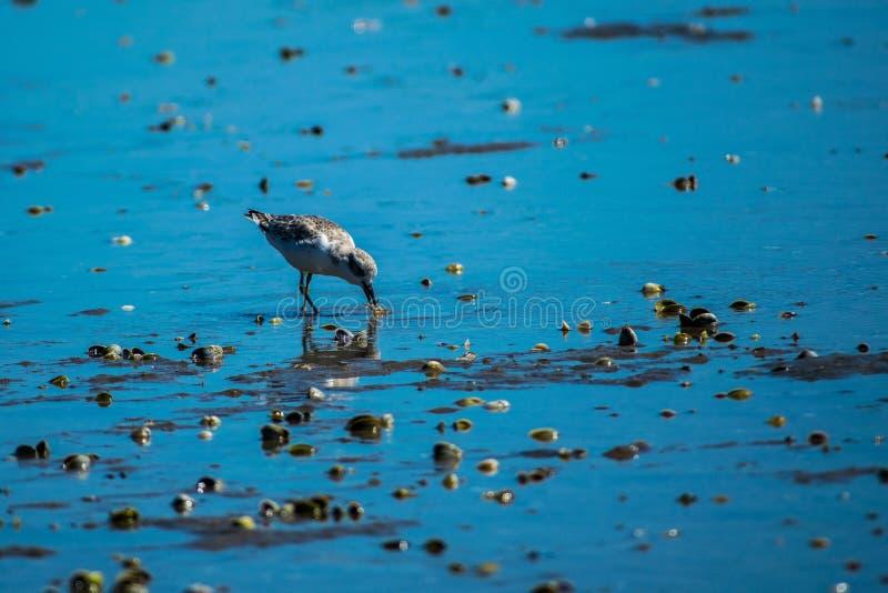 Pájaro de Dotteral en el estuario imagenes de archivo