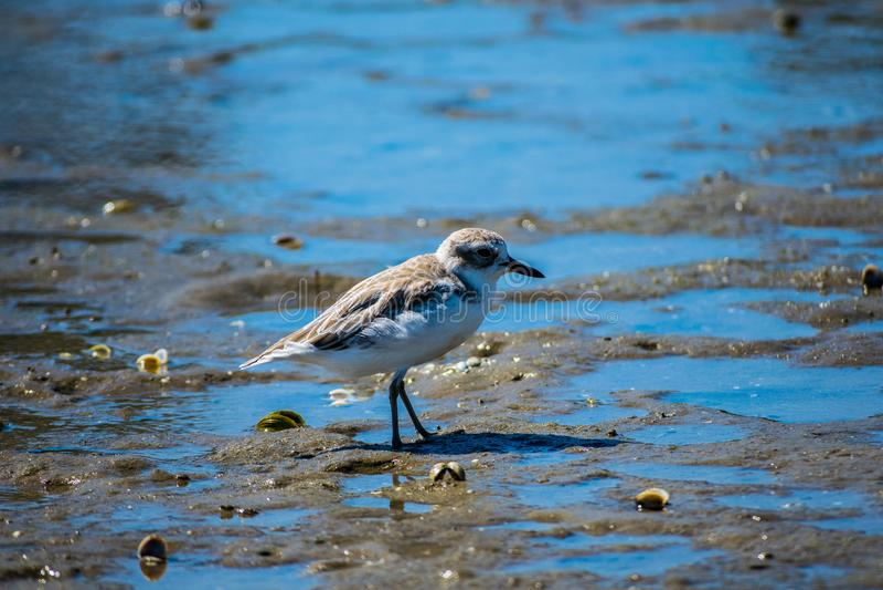 Pájaro de Dotteral en el estuario imagen de archivo libre de regalías