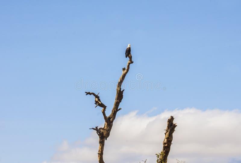 Pájaro de Eagle remendado en un brunch del árbol fotografía de archivo libre de regalías