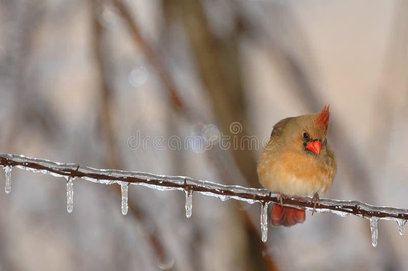 Pájaro de estado de Carolina del Norte fotografía de archivo libre de regalías