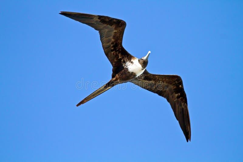 Pájaro de fragata en vuelo imágenes de archivo libres de regalías