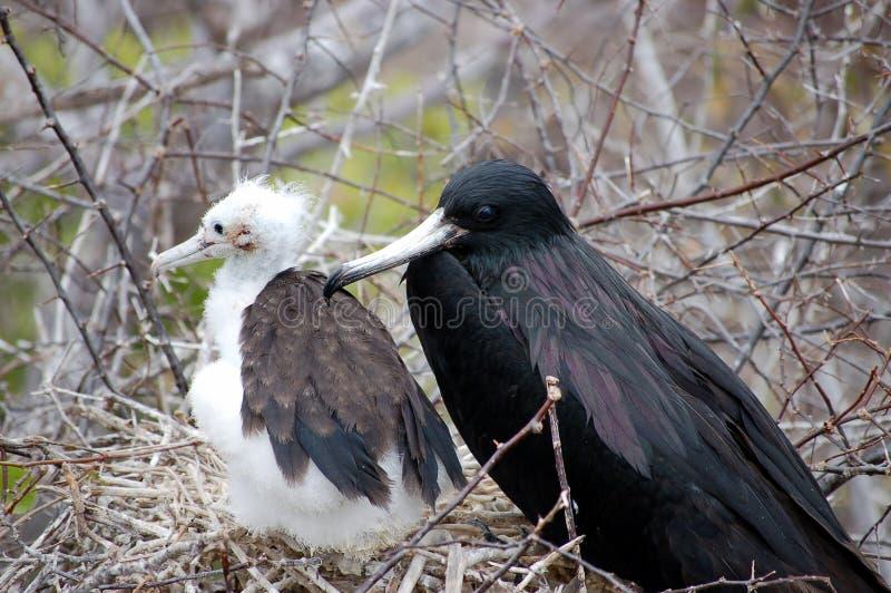 Pájaro de fragata femenino con el polluelo. fotos de archivo