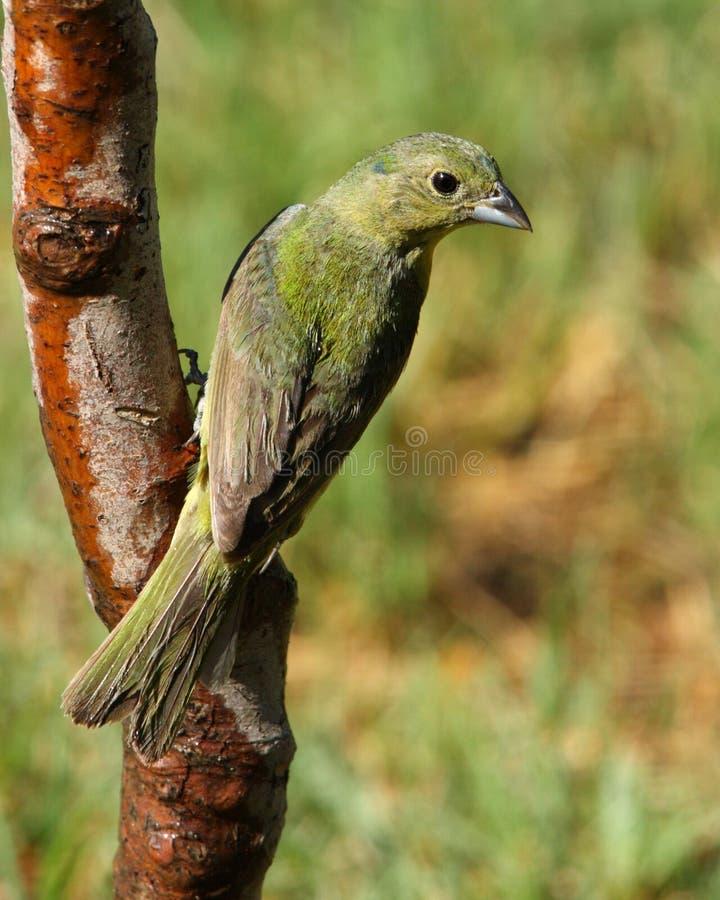 Pájaro de golpe ligero pintado fotos de archivo libres de regalías