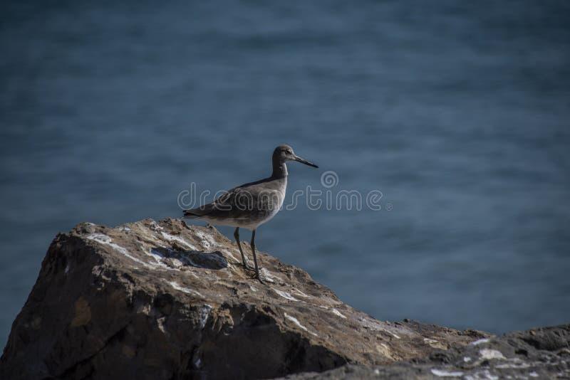 Pájaro de Grey Willet encaramado en una roca en la playa de Malibu imágenes de archivo libres de regalías