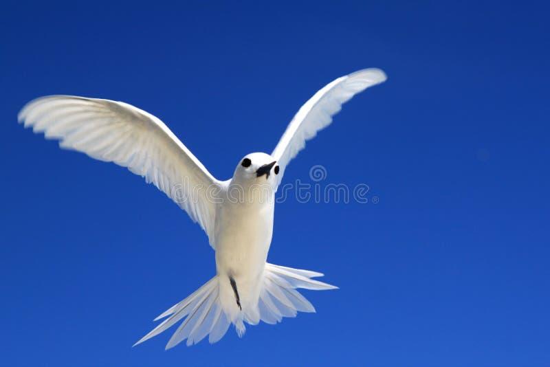 Pájaro de hadas de la golondrina de mar del vuelo fotos de archivo