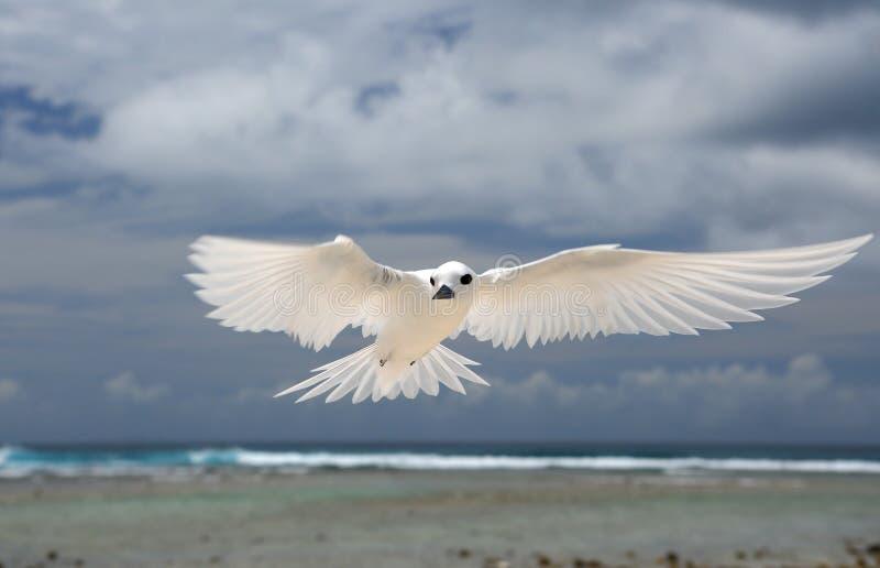 Pájaro de hadas de la golondrina de mar del vuelo imagen de archivo libre de regalías