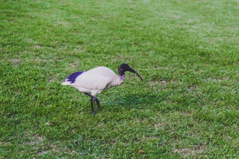 Pájaro de Ibis que camina en hierba foto de archivo libre de regalías