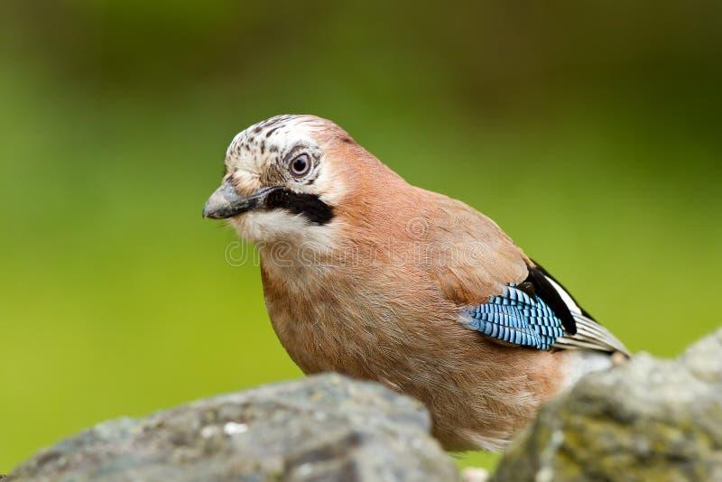 Pájaro de Jay (glandarius del Garrulus) foto de archivo libre de regalías