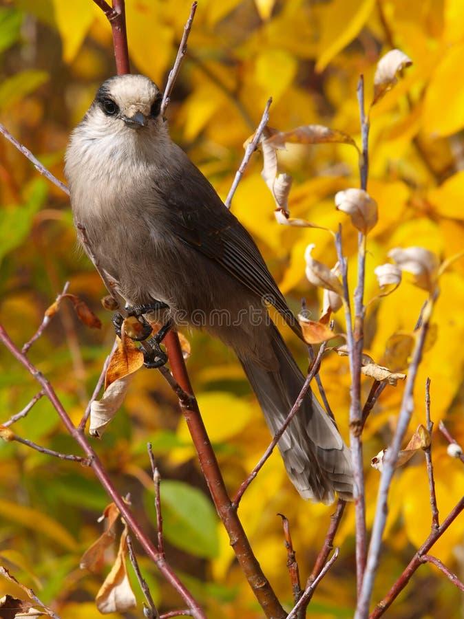 Pájaro de jay gris imagen de archivo
