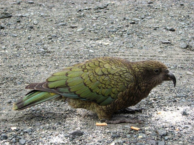Pájaro de Kea o notabilis del loro o de Nestor de la montaña fotografía de archivo