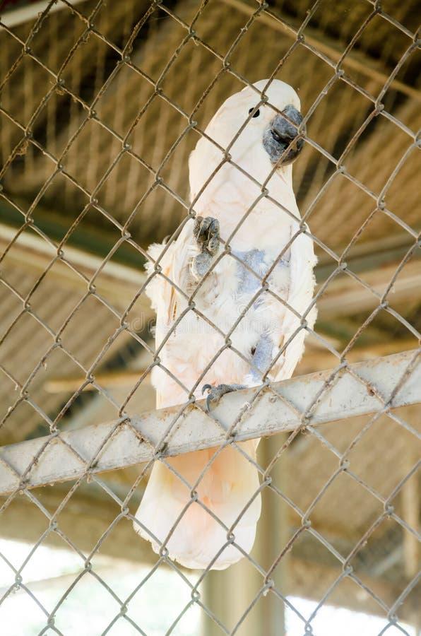 Pájaro de la cacatúa (galerita del Cacatua) imágenes de archivo libres de regalías