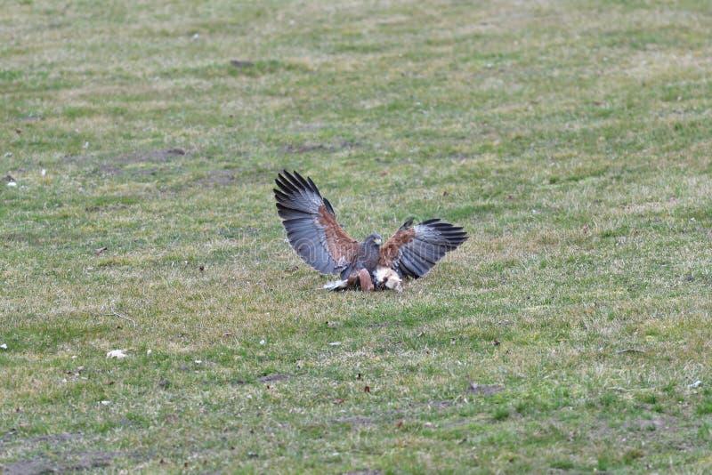 Pájaro de la caza de la presa para su víctima en el pájaro depredador de la hierba foto de archivo