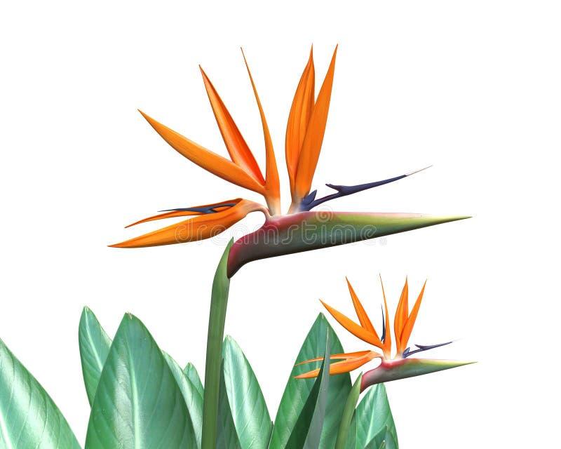 Pájaro de la flor de paraíso stock de ilustración