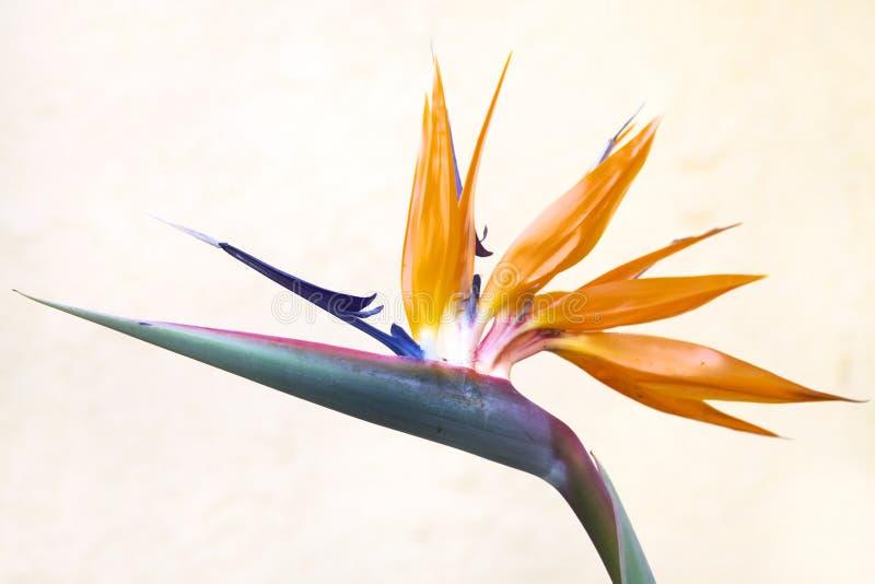Pájaro de la flor de paraíso con la pared blanca foto de archivo
