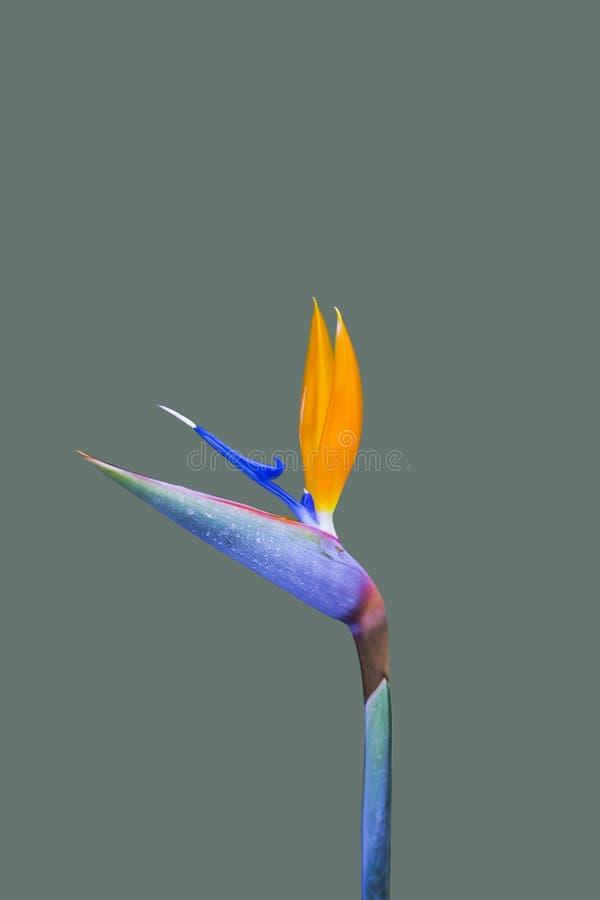 Pájaro de la flor de paraíso Strelitzia en fondo gris fotos de archivo