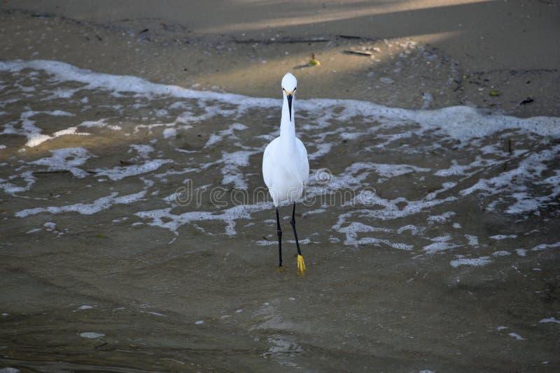 Pájaro de la garceta nevada que vadea en agua imagen de archivo