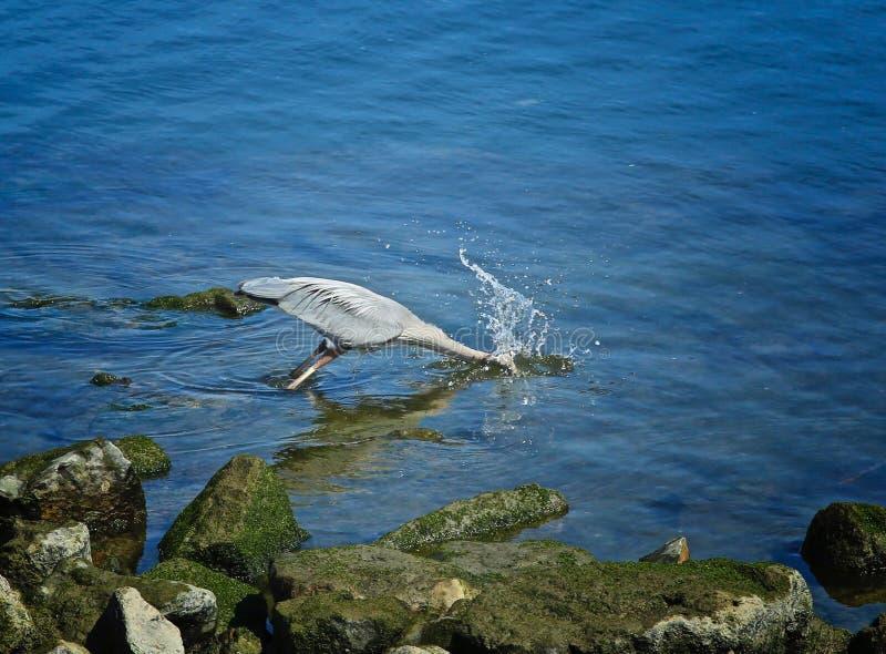 Pájaro de la garza de gran azul foto de archivo libre de regalías