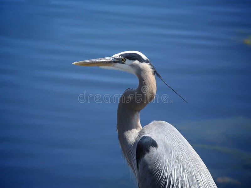 Pájaro de la garza de gran azul imagen de archivo