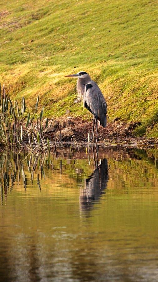 Pájaro de la garza de gran azul, herodias del Ardea fotografía de archivo libre de regalías