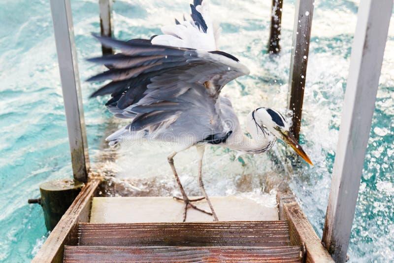 Pájaro de la garza que busca pescados foto de archivo libre de regalías