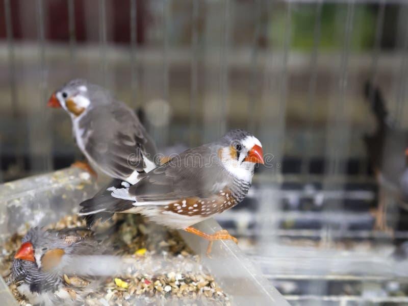Pájaro de la jaula de la familia de Estrildidae del guttata de Taeniopygia en la tienda de animales fotografía de archivo libre de regalías
