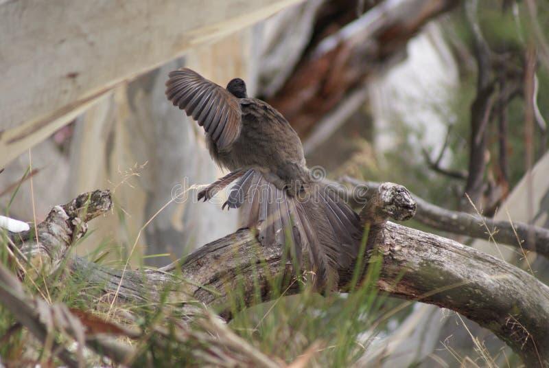 Pájaro de la lira imagen de archivo libre de regalías