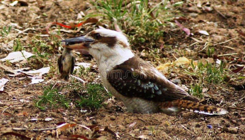 Pájaro de la matanza de Kookaburra foto de archivo libre de regalías