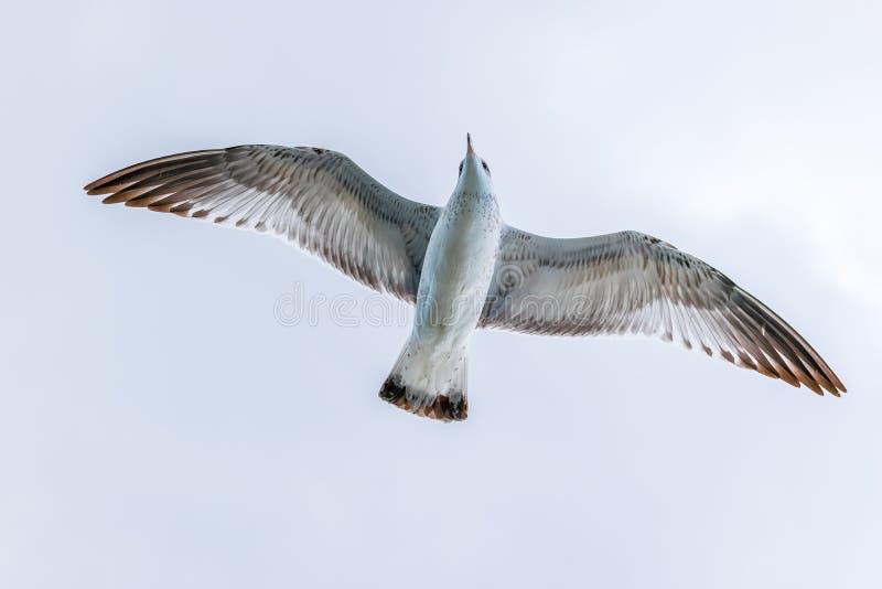 Pájaro de la meauca del ` s de Cory que se desliza a través de los cielos abiertos fotos de archivo