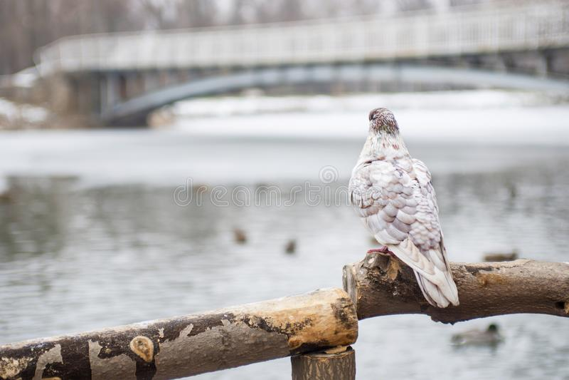 Pájaro de la paloma, oponiéndose en el poste de madera a un fondo natural borroso Una paloma sola se sienta en una rama de madera fotos de archivo