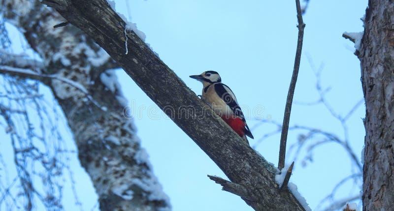 Pájaro de la pulsación de corriente en la rama de árbol en invierno, Lituania foto de archivo