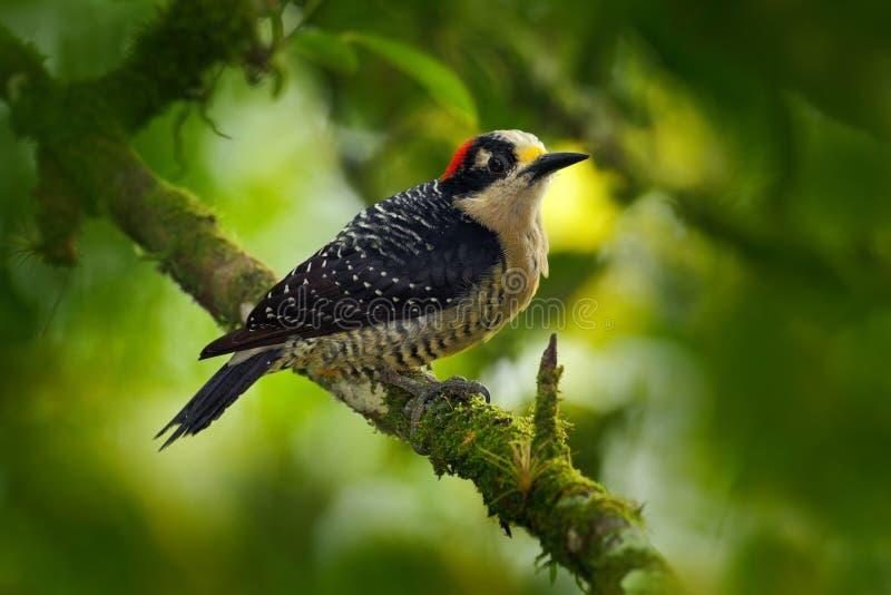 Pájaro de la pulsación de corriente Pulsación de corriente negra-cheeked, pucherani del Melanerpes, sentándose en la rama en la p fotos de archivo libres de regalías