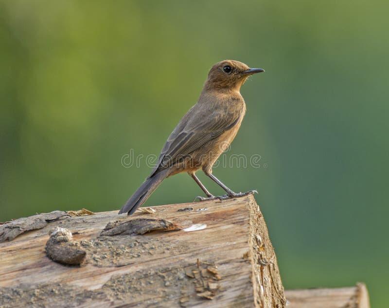 Pájaro de la Roca-charla de Brown imagenes de archivo