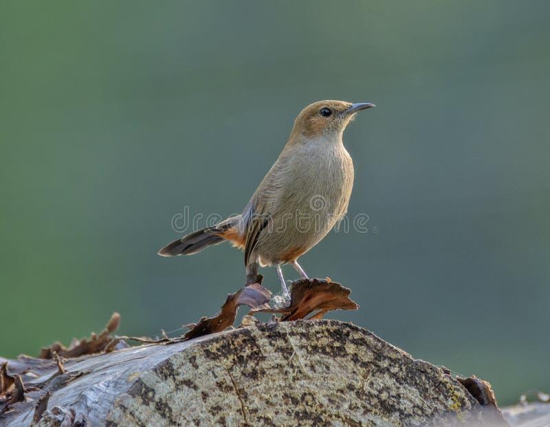 Pájaro de la Roca-charla de Brown imagen de archivo libre de regalías